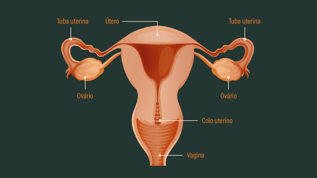 Genitália Feminina Interna